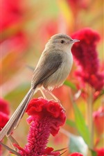 Preview iPhone wallpaper Sparrow, red flowers