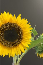 Preview iPhone wallpaper Sunflowers, gray background