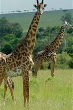 Preview iPhone wallpaper Three giraffes, Africa