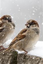 Aperçu iPhone fond d'écranTrois moineaux, neige, hiver