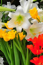 Preview iPhone wallpaper Tulips and lilies, white, yellow and red flowers
