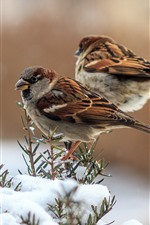 Preview iPhone wallpaper Two sparrows, snow, winter