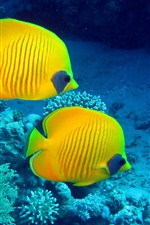 Preview iPhone wallpaper Two yellow fish, underwater, clownfish