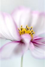 Preview iPhone wallpaper White pink petals kosmeya flowers