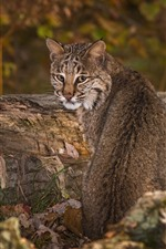 Preview iPhone wallpaper Wild cat look back, lynx, wildlife