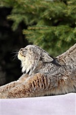 Preview iPhone wallpaper Wildcat, lynx, stretching
