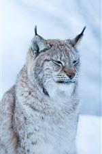 Preview iPhone wallpaper Wildcat, lynx, winter, bokeh