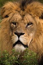 Vida selvagem, leão, juba, olhar