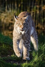 Preview iPhone wallpaper Wildlife, lynx walk to you, grass