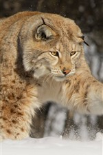 Wildlife, paw, lynx, snow