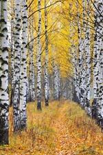 Birch, trees, autumn