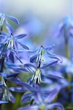 Blue little flowers, hazy, spring