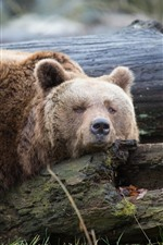 Preview iPhone wallpaper Brown bear sleep