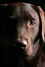 Preview iPhone wallpaper Brown dog, face, black background