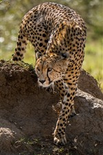 Preview iPhone wallpaper Cheetah, walk, grass