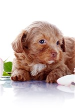 Preview iPhone wallpaper Cute puppy and rose, white background