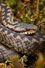 Dangerous animal, rattlesnake