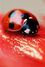 Ladybug, red flower, petals, insect