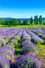 Preview iPhone wallpaper Lavender, purple flowers, trees, nature landscape