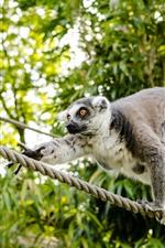 Lemur, climb, rope