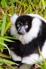 Preview iPhone wallpaper Lemur, white and black, bamboo