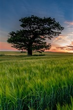 Preview iPhone wallpaper Lonely tree, green wheat field, sunset