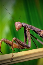 Preview iPhone wallpaper Mantis, insect, green hazy background