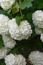 iPhone壁紙のプレビュー 多くの白いアジサイの花