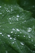 Preview iPhone wallpaper One green leaf, many water droplets