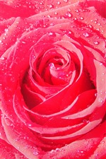Preview iPhone wallpaper One pink rose close-up, petals, dew