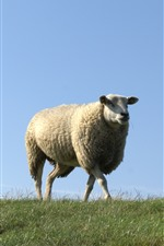 Preview iPhone wallpaper One sheep, walk, grass