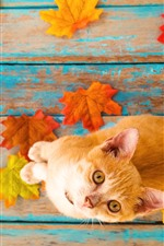 Preview iPhone wallpaper Orange little kitten look up, maple leaves