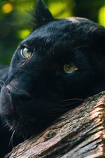 Preview iPhone wallpaper Panther, predator, rest, yellow eyes