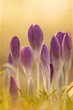 iPhone壁紙のプレビュー ピンクのクロッカスの花、かすんでいる、春