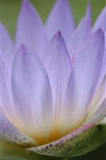 Pink water lily, petals, flower close-up