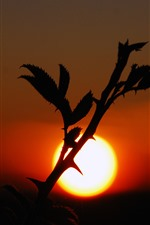 Plants, sunset, thorn, silhouette