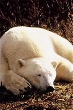 Preview iPhone wallpaper Polar bear sleeping, sunshine