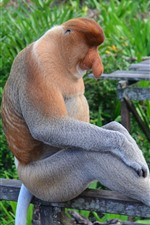 Preview iPhone wallpaper Proboscis monkey