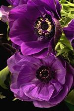Purple anemones, flowers, black background