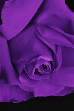 Purple rose, black background