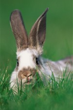 Preview iPhone wallpaper Rabbit, green grass, wildlife