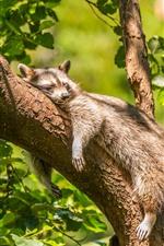 Preview iPhone wallpaper Raccoon sleep on tree