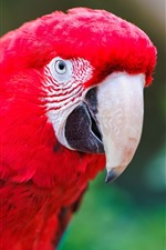 Preview iPhone wallpaper Red feather parrot, beak, bird