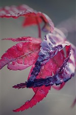 Preview iPhone wallpaper Red maple leaf, water, hazy background