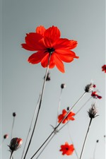 Preview iPhone wallpaper Red poppies, sky, glare