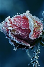 Preview iPhone wallpaper Red rose, frost, flower bud