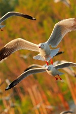 Preview iPhone wallpaper Some seagulls flying