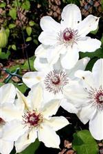 iPhone壁紙のプレビュー いくつかの白いクレマチスの花、フェンス