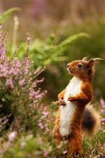 Preview iPhone wallpaper Squirrel standing, pink flower, spring