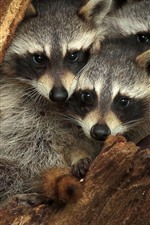 Preview iPhone wallpaper Three raccoons, hollow tree trunk